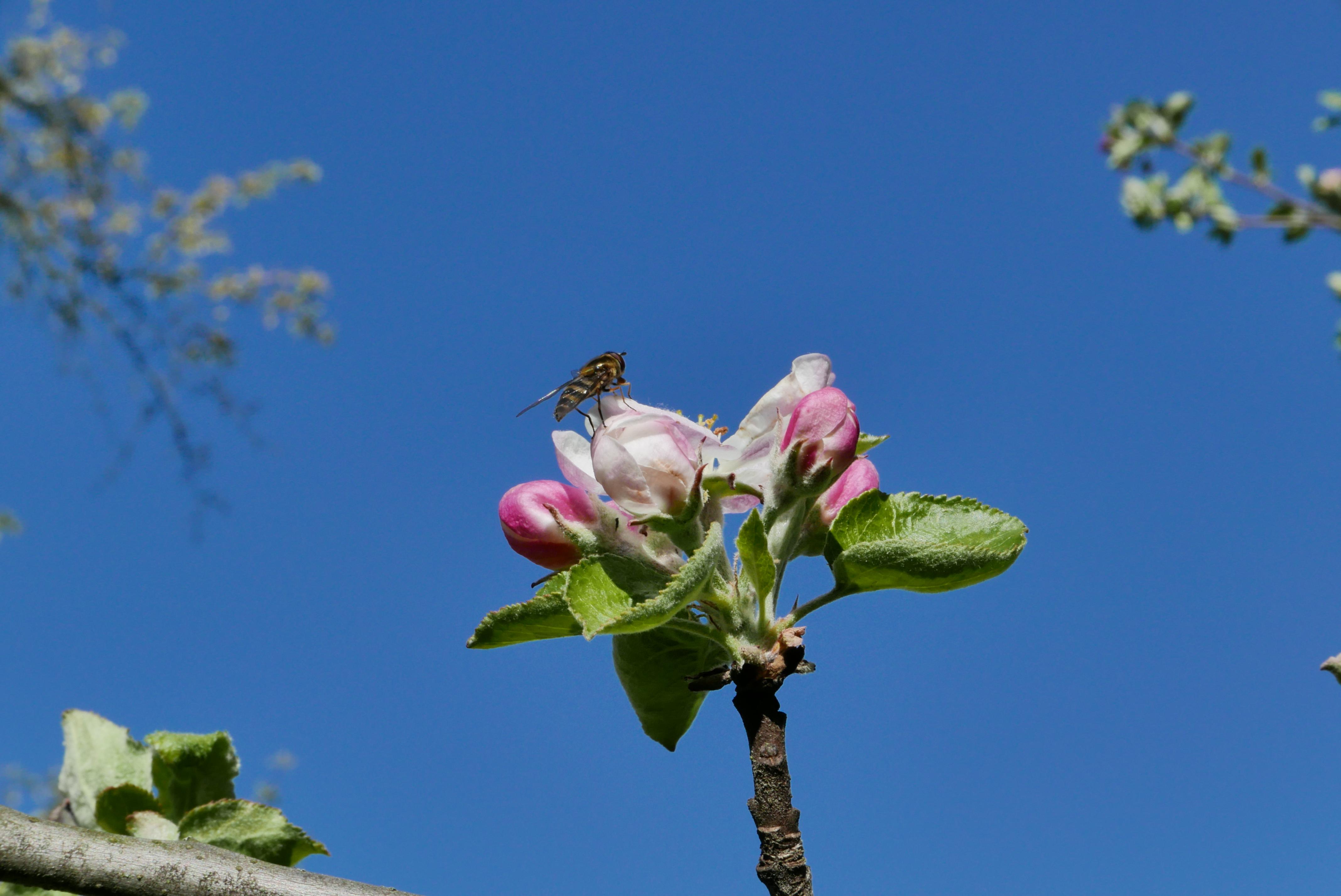 P1180351 Apfelblüte