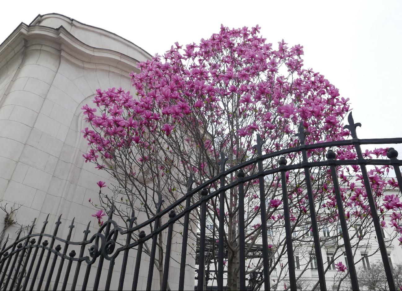 P1200763_magnolien frz. Botschaft